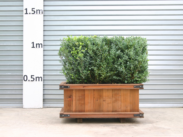 hedge planter boxes 1