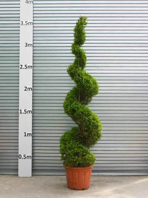 Palmbrokers Catalogue Topiary Trees For Hire